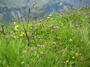 Alpenblumen auf der Wiese