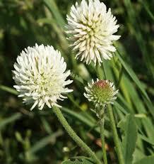 Blüten des Bergklees (c) wikimedia commons