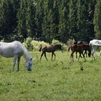 Pferde auf einer Koppel im Salzkammergut