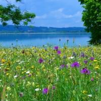 Blühende Wiese am See